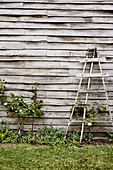 Rosen an Rankhilfen an verwitterter Bretterwand im Garten