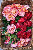 Pink and red roses in basket