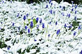 Grape hyacinths in snowy garden