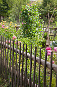 Flowers and vegetables in fenced cottage garden