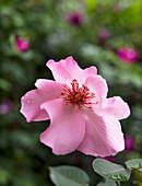 Wild rose in garden