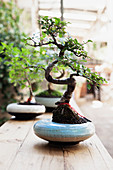 Bonsai tree in pale blue pot
