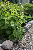Lady's mantle in flowerbed with cobble edging next to gravel path