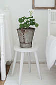 White geranium in rustic metal bucket on stool
