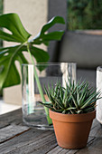 Potted succulent in front of Swiss cheese plant leaf in glass vase