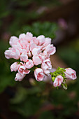 Pale pink pelargonium flowerhead with closed buds