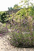 Violett blühendes Argentinisches Eisenkraut im runden Beet