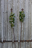 Arrangements of ivy on metal rods against weathered wooden wall