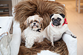 Two dogs sitting on brown sheepskin on chair