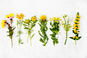 Various yellow summer flowers incl. yellow loosestrife (Lysimachia punctata), fennel flowers