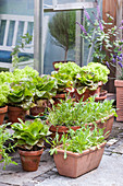 Various types of lettuce in terracotta pots on terrace