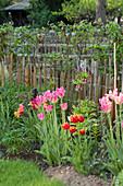 Rosa blühende Tulpen im Garten