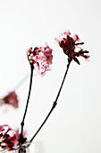 Flowering fragrant viburnum