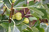 Striped Panachée figs