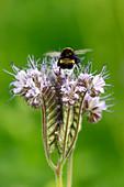 Hummel auf Blüte der Bienenweide