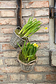 Narcissus planted in baskets hung on wall