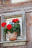 Rote Geranie am Fenster
