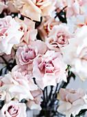 Fragrant English roses by 'David Austin'