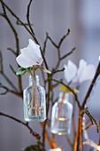 weiße Alpenveilchenblüten in Väschen aufgehängt an Zweigen