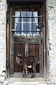 Goat in front of wooden door of Alpine cabin