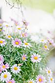 Pastel Margerite Blossoms 'comet Pink'