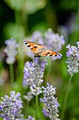 Schmetterling kleiner Fuchs auf Lavendelblüte