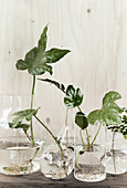 Leaves and cuttings with new roots in glass vases of water
