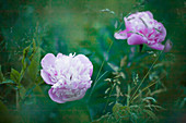 Two peonies amongst grasses in mysterious light