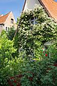 Fassade eines alten Hauses mit üppigem Rosenschmuck eingerankt