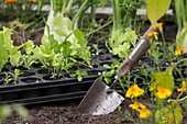 Cultivation Plate With Vegetables, Planting Blade Next To It
