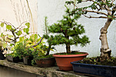 Free Range Bonsai From Hardy Woody Plants