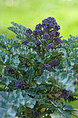 Purple-sprouting broccoli (Brassica oleracea var. italica) growing in garden