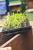 Topfpalette mit Jungpflanzen, Kohlrabi und Rote Bete