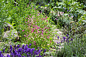 Garden path lined by beds of lavender, salvias and Moroccan toadflax (Linaria maroccana)