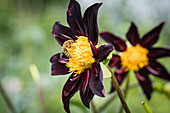 Wasp on dahlia 'Honka black'