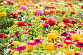 Bed of colourful double zinnias