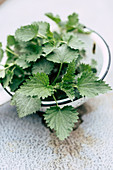 Old enamel colander full of nettle leaves for making liquid fertiliser
