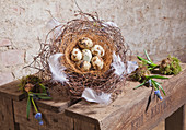 Quail eggs and white feathers in nest made from maidenhair vine tendrils