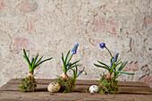 Three grape hyacinth bulbs wrapped with moss