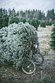 Abgeschnittener Weihnachtsbaum in einer Baumfarm