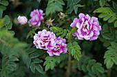 Blooming beaverell roses in the garden