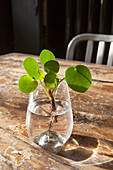Pilea peperomioides (Chinese money plant) cutting in glass of water