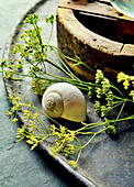 Seed Of Fennel With Snail Shell