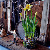 Driven Daffodils In The Wire Basket