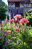 Turkish Poppy 'pink Ruffles' In The Rural Garden
