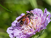 Wild Bee at Knautia flower, Andrena hattorfiana, Bavaria, Germany, Europe