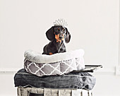 Dachshund with crown in dog basket