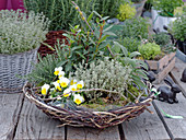 Basket planted with lemon thyme, violas, bay, rosemary and sage