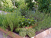 Lavender, hyssop, sage and thyme in raised bed made from planks