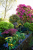 Hornbeam, Japanese maple and rhododendron in the garden